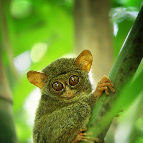 Tarsius by Ruri Irawan - Animals Other Mammals