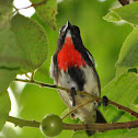 Grey-sided flowerpecker