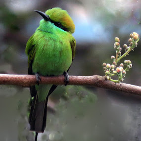 The Green Bee Eater by Anumita Das - Animals Birds ( bird, nature, beeeater, greenbeeeater )