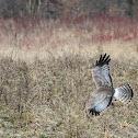 Northern Harrier Hawk (male)