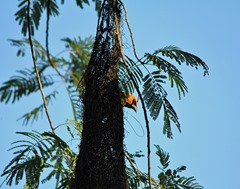 altamira oriole in nest BSP