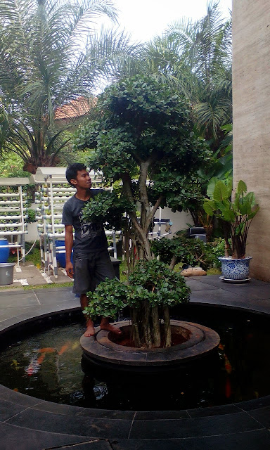 Tukang taman menjual pohon bonsai beringin korea