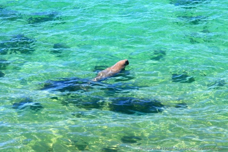 Dugong swimming shark bay Australia