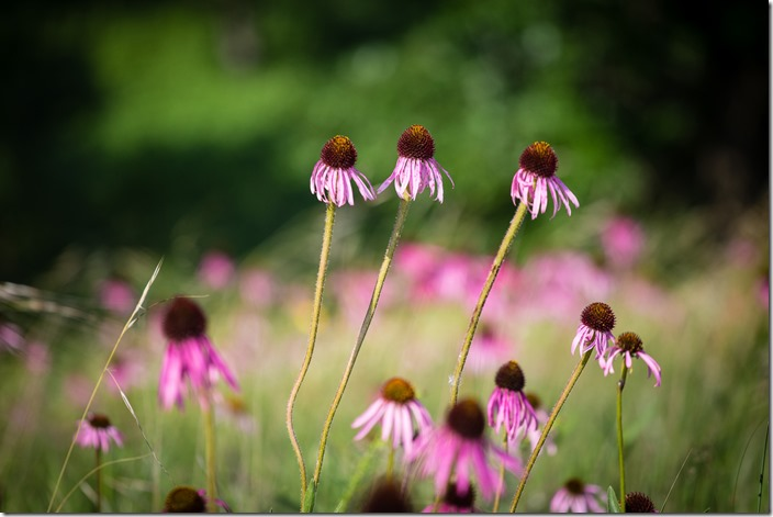 Purple Coneflower IMG_2255