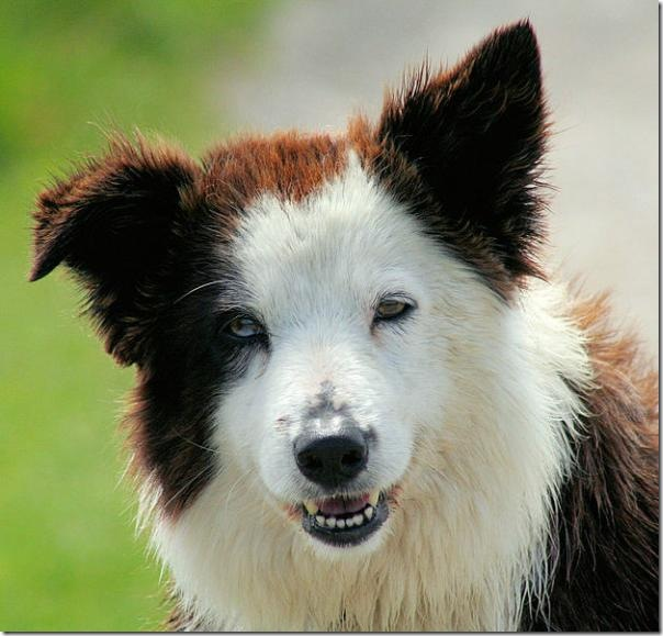 8_Border-collie.img_assist_custom-600x575