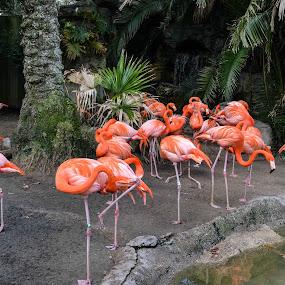NOLA Zoo Flamingos by Gail Marsella - Animals Birds ( water, bird, tree, flamingo, pink )