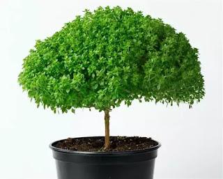 Giống húng quế Hishtil có thể trồng trong nhà