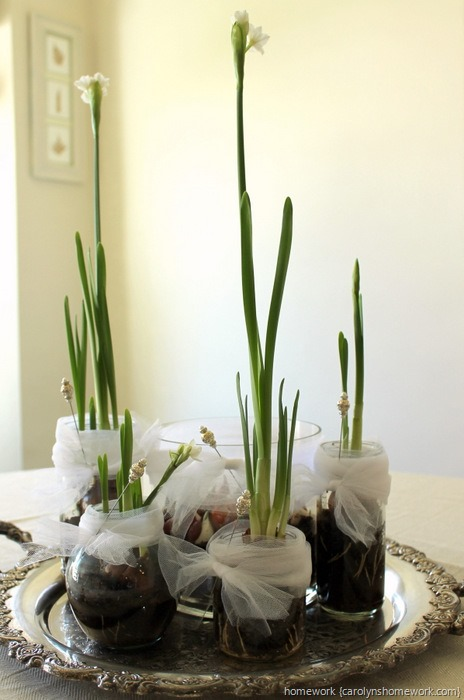 Paperwhites in Jars via homework ~ carolynshomework (6)