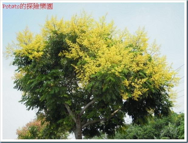 秋高氣爽的九月,在台一線往水上的鐵道邊,台灣欒樹正盛開著,有黃色的花朵、粉紅的蒴果、紅褐色的蒴果,搭配著綠色的樹葉,著實美麗,美麗的行道樹,讓人著迷。