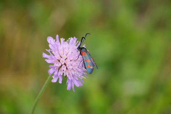 Zygaenidae : Zygaena filipendulae (LINNAEUS, 1758), butinant Scabiosa columbaria. Hautes-Lisières (Rouvres, 28), 26 juillet 2010. Photo : J.-M. Gayman