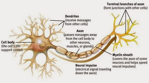 Axon and dendrites
