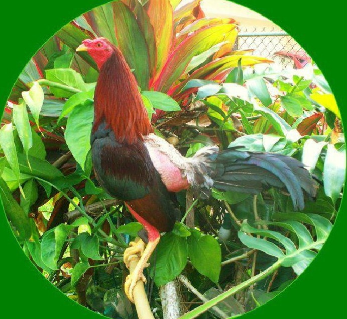 3 Obat Ayam Bangkok Ngorok yang Paling Ampuh
