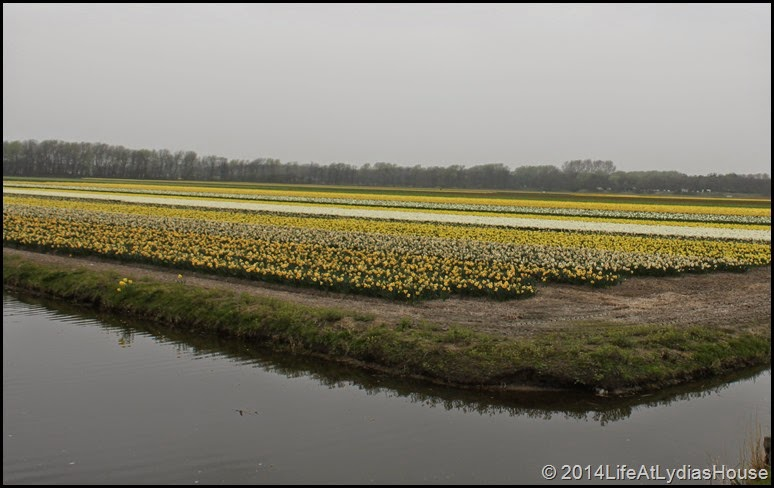 Holland Flower Fields 5