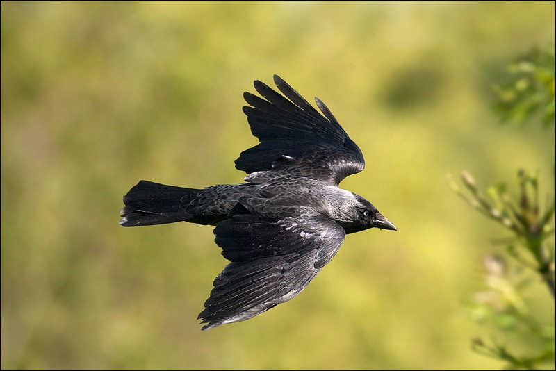 Jackdaw in flight