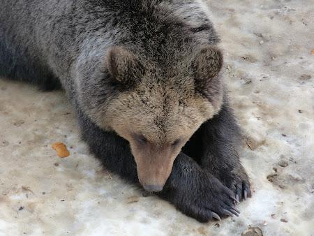 Sanctuarul de ursi LiBearty: ursoaica Mura