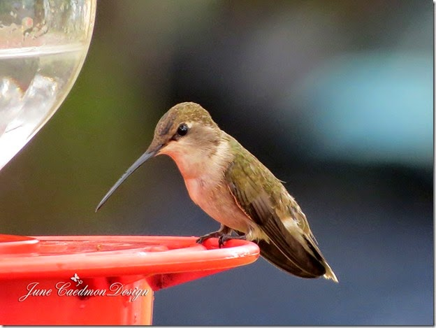 Hummingbird_Female