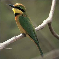 Gambia-Little-Bee-eater