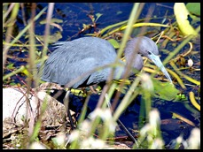 13a - Little Blue Heron