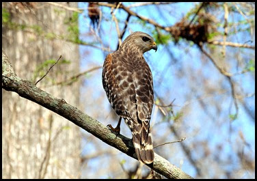 02c - Kirby Storter Boardwalk - Red Shoulder Hawk