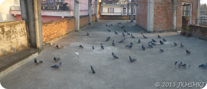 Pigeons waiting for grains