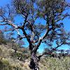 Alcornoque mediterraneo  Mediterranean oak