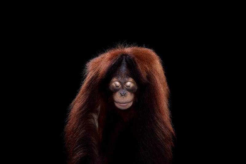 animal-photography-affinity-Brad-Wilson-orangutan-3.jpeg