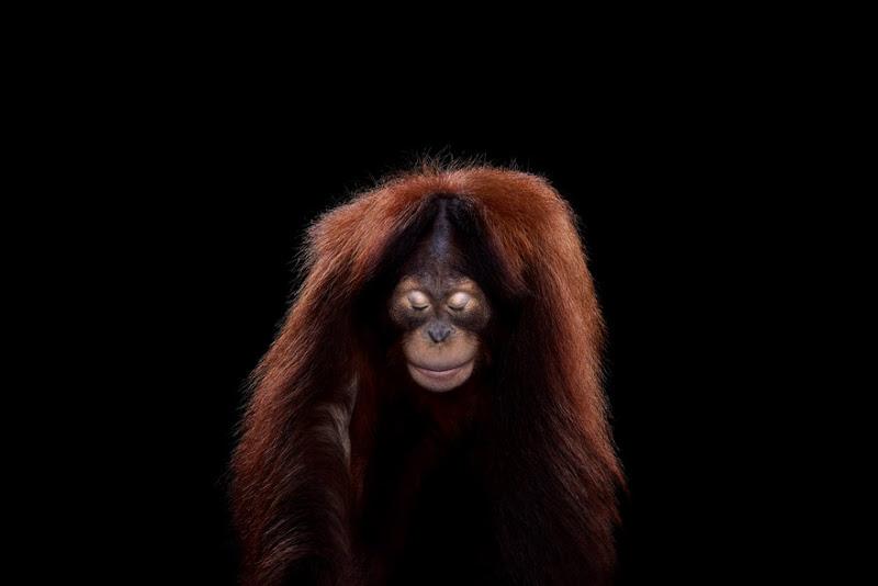 animal-photography-affinity-Brad-Wilson-orangutan-3.jpeg