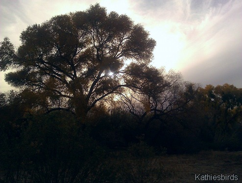 12-18-13 Cottonwood tree at sunset-kab