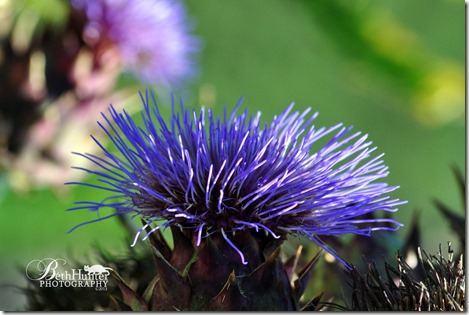 cr-scottish-thistle-sm-1422