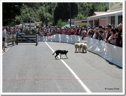 Whangamomona Republic Day. Sheep dog trials.