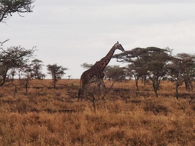 Serengeti 1 084.JPG