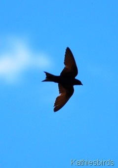 5. purple martin-kab