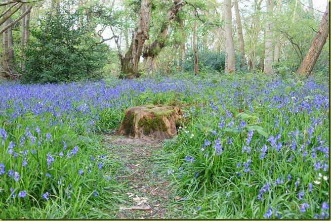 Bluebells Foxley wood