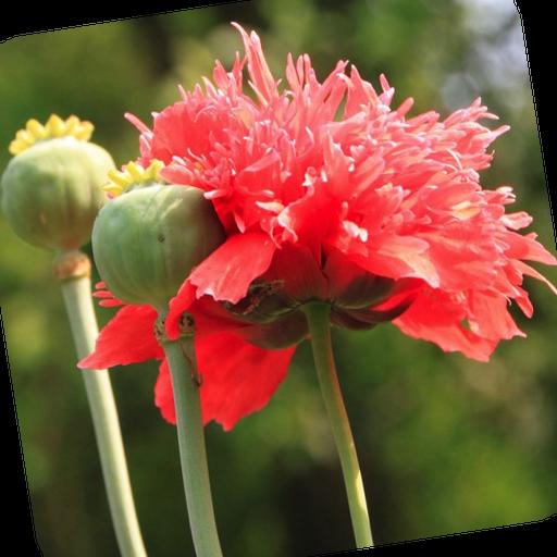 Opium Poppies Wallpaper Flower