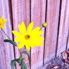 Swamp sunflower?