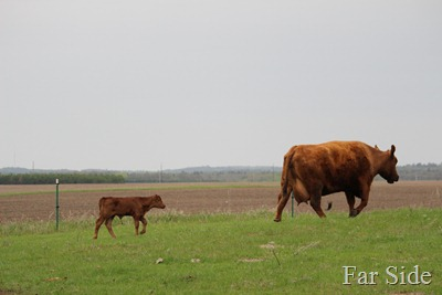 Mama and the new calf