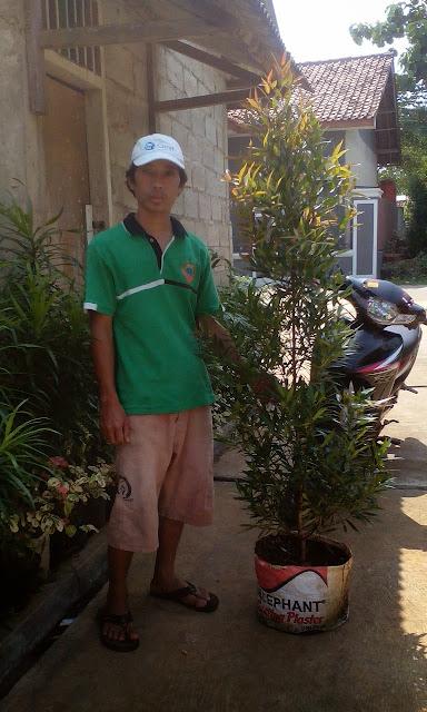 Tukang taman jual pohon pucuk merah