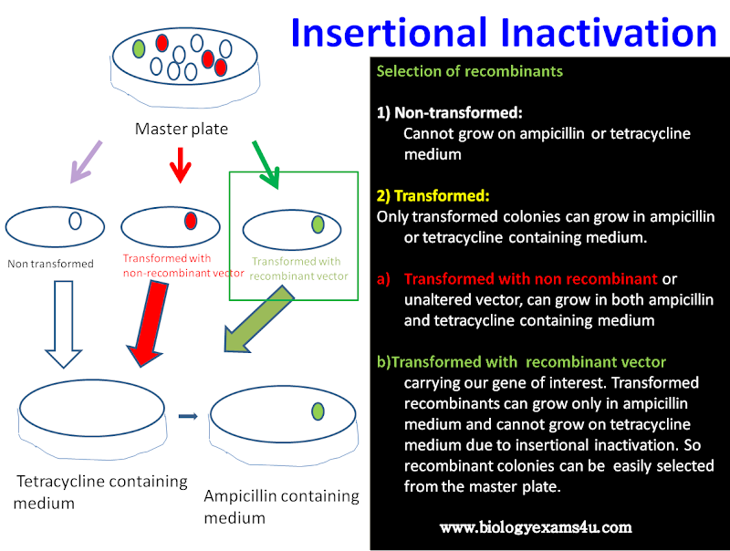insertional inactivation in pBR322