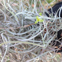 Spanish Moss Flower