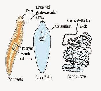 exemple de platyhelminthes phylum)
