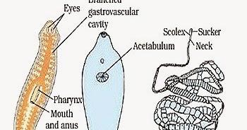 soarta blastopore în platyhelminthes hpv cancer incidence