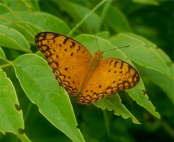 Phalanta madagascariensis MABILLE, 1887. Réserve d'Ankarafantsika (50 km à l'est de Majunga), 210 m d'altitude, 9 février 2011. Photo : T. Laugier