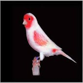 sound canary