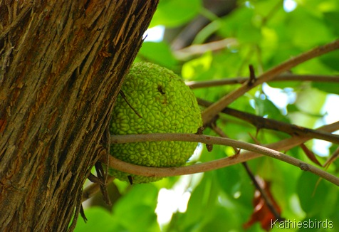 13. breadfruit-kab