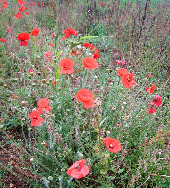 PEDDARS WAY POPPIES