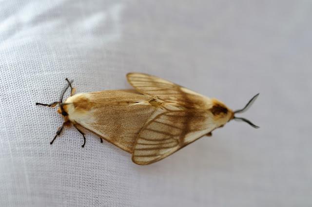 Thaumetopoeidae : genre Anaphe : Anaphe venata, BUTLER, 1878. Ebogo (Cameroun), 20 avril 2013. Photo : Daniel Milan