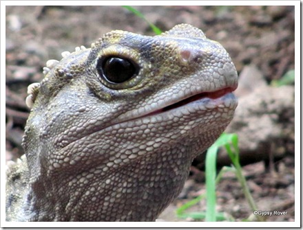 Closeup of a prehistoric Tuatara