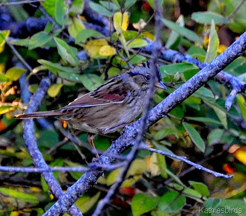 4. swamp sparrow-kab