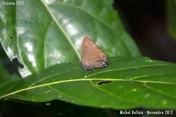 Probablement Calycopis bellera (HEWITSON, 1877). Saül, novembre 2012. Photo : Michel Belloin