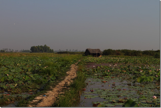 Lotus farms enroute to Tonle Sap, Cambodia